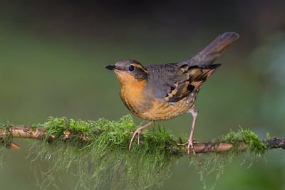 Varied Thrush - Female