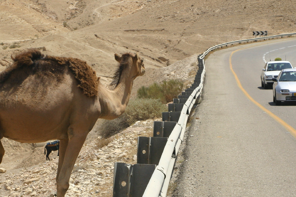 The signs are needed- a bedouin's herd of camels grazed along the road