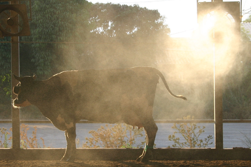 Even cows get hot