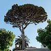 Italian Stone Pine, also called umbrella pine
