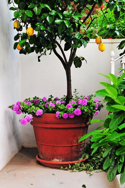 Lemon Tree in Courtyard