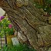 Tree in the garden at Villa San Michelle - Anacapri