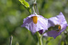 Solanum umbelliferum, blue witch nightshade, an early bloomer.