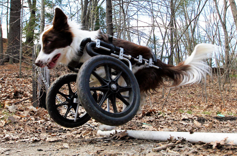 """Roosevelt pops a wheelie to get over a pipe during a walk, Saturday, April 7, 2012, in Portland. The $900 custom-built cart compensates for his handicap. """"It's his front-wheel drive,"""" says his owner, Stephanie Fox. (Robert F. Bukaty/BDN)"""