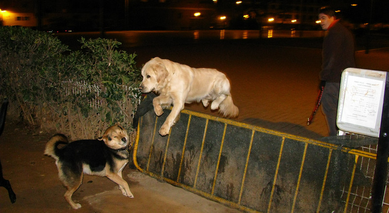 """Bruce, prince, next """"king,"""" nicknamed already """"The White Lion"""" because of his royal bearing. Only about one years old here... raised by all the royalty: Chete (the king), Maddie & mimi and Sombra.  Here he is jumping right over Maddie the queen."""