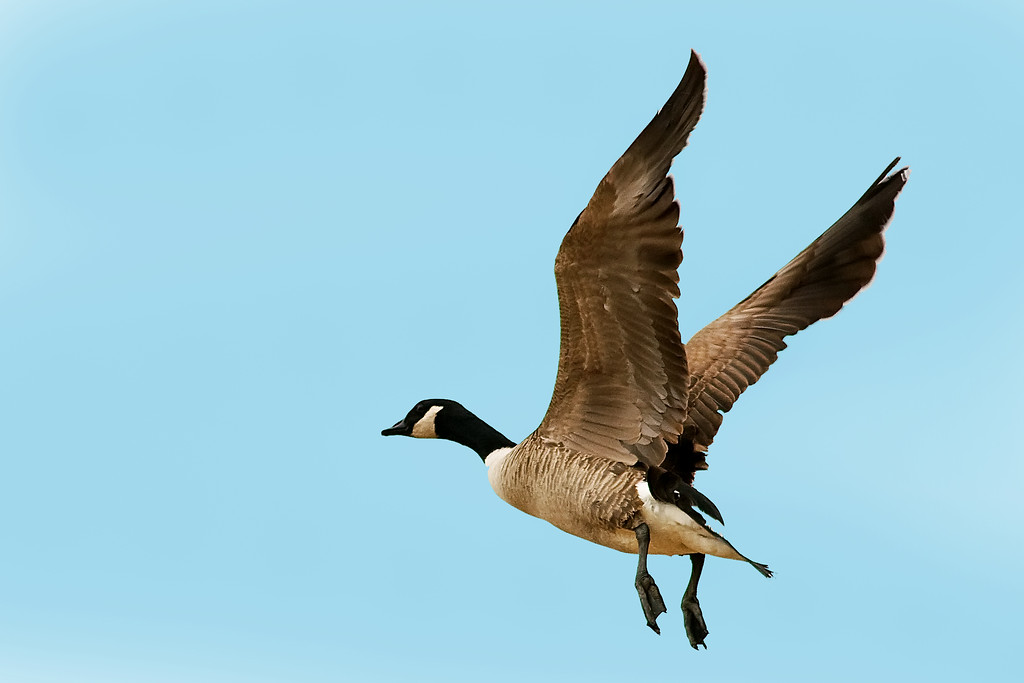 Jan 22nd,  Went out with a friend goose hunting for the second time with the camera today.  I ended up getting a fair shot of this Canadian.  Would have been nice if the wind would have changed so they would have come in straight at us.  Maybe next time!