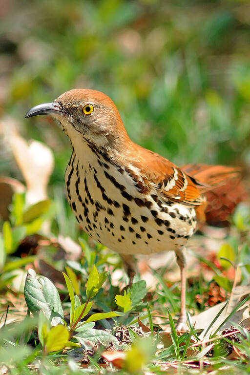 Mar 21st,  Took the new camera out for the second time today, but stayed close by the apartment.  I found a couple of Brown Thrashers picking through the leaves.  They were not real worried about me so I got a few good shots of them.  Cool birds!
