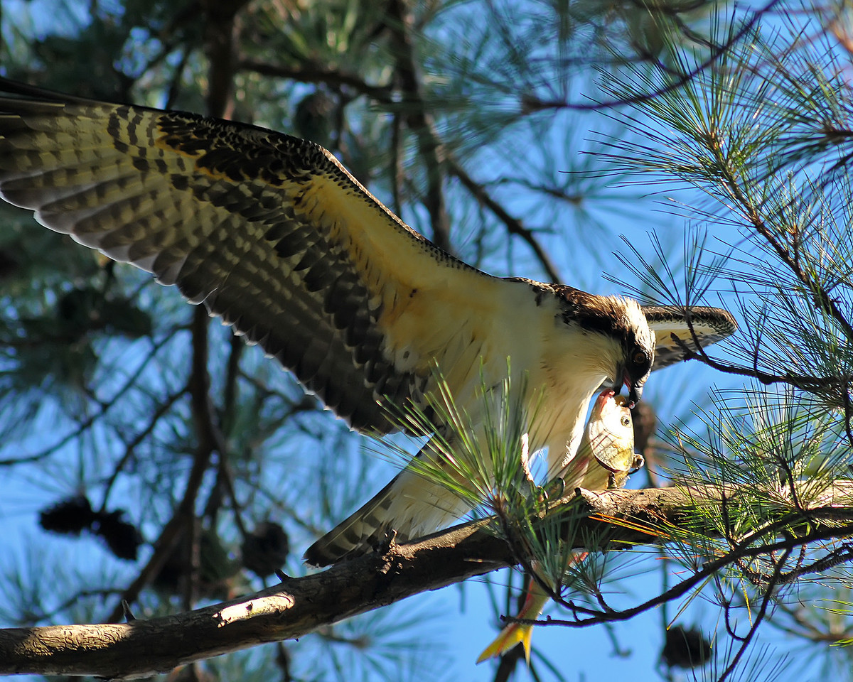 Sept 6th,  As we were packing camp from a nice weekend out this Osprey didn't really care if we were there or not.  He sat and enjoyed his catch.