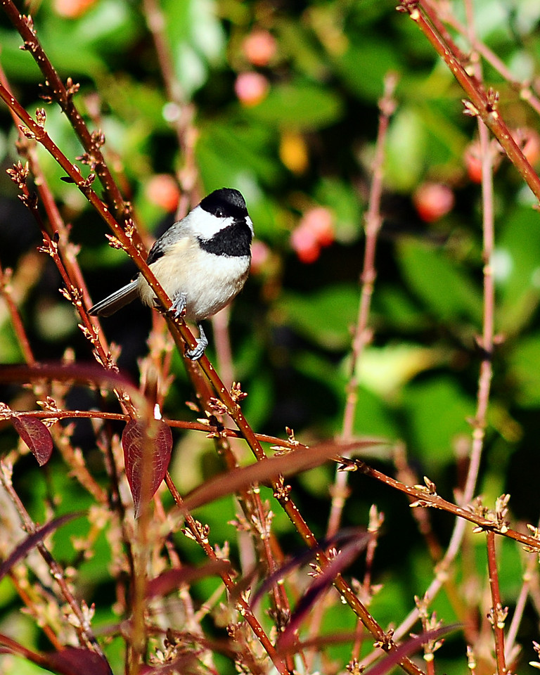 Nov 27th,  Shooting around my parents front yard is always fun with the amount of birds they get!  Black-capped Chickadee.