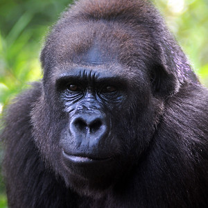 Travel - Silverback Gorilla