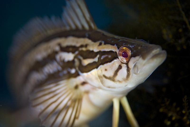 carol yin Giant Kelpfish Casino Pt, Jan 12, 2008 Canon 5D, with 100mm at F2.8, Ikelite DS-125 strobes