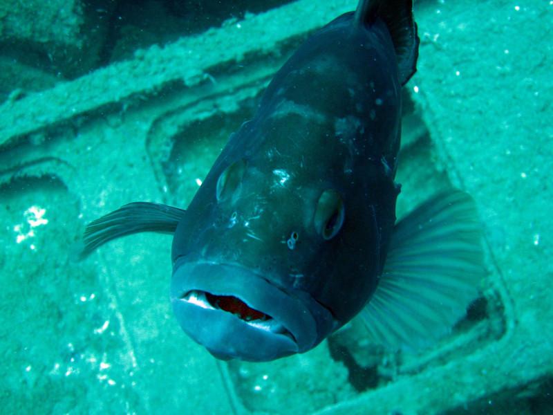 Oscar the grouper