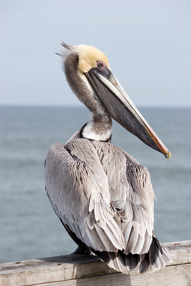 Yellow Head Pelican