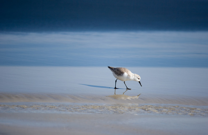 shore bird near the Jacksonville Beach, Florida Pier