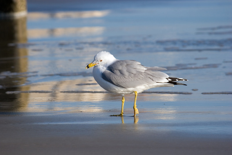 Seagull near the Jacksonville Beach, Florida Pier