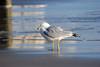 Seagull near the Jacksonville Beach, Florida Pier