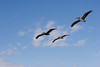 Pelicans flying near the Jacksonville Beach Pier
