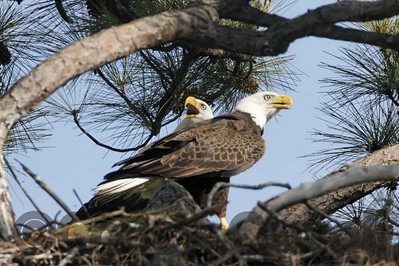 Eagles in the nest by Ron Mayberry