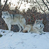 "Wolves at ECO Museum <a href=""http://www.ecomuseum.ca/"">http://www.ecomuseum.ca/</a>"