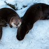 "River Otters at ECO Museum <a href=""http://www.ecomuseum.ca/"">http://www.ecomuseum.ca/</a>"