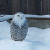 "Snowy Owl at ECO Museum <a href=""http://www.ecomuseum.ca/"">http://www.ecomuseum.ca/</a>"