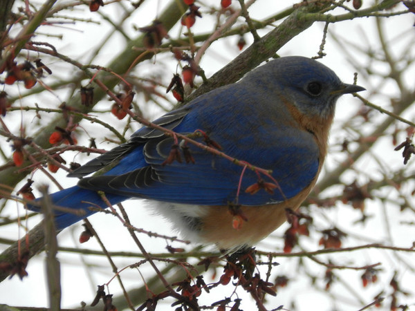 Bluebird in winter<br /> <br /> Photographer's Name: Jan Baker<br /> Photographer's City and State: Daleville, Ind.
