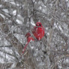 A beautiful cardinal on a snowy Friday morning.<br /> <br /> Photographer's Name: Michael Virgin<br /> Photographer's City and State: Anderson, IN
