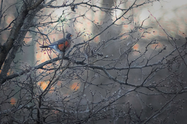 A robin in my backyard.<br /> <br /> Photographer's Name: Terry Lynn Ayers<br /> Photographer's City and State: Anderson, IN