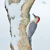 Red-bellied woodpecker in the snow<br /> <br /> Photographer's Name: Sharon Markle<br /> Photographer's City and State: Markleville, Ind.