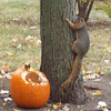 Squirrel waiting to get back in the pumpkin! This was taken at my residence, 6140 S. Main Street, Anderson<br /> <br /> Photographer's Name: Patty Gosnell<br /> Photographer's City and State: Anderson, IN