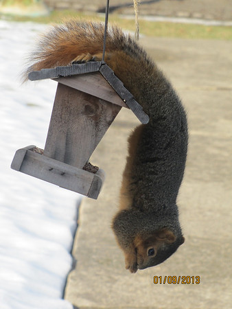 Squirrel stealling the birds feed...<br /> <br /> Photographer's Name: JoAnna Mullins<br /> Photographer's City and State: Anderson, IN