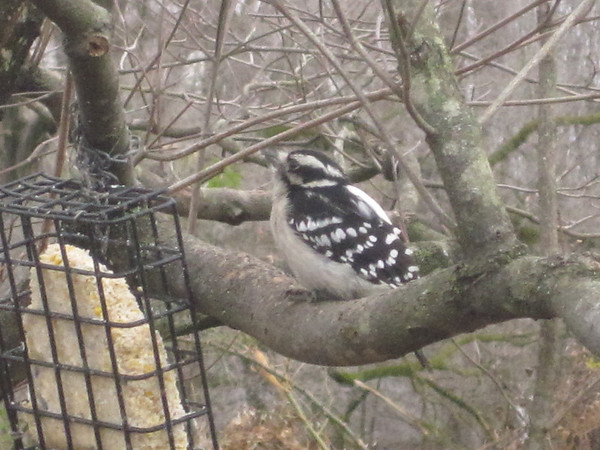 The Hairy Woodpecker is one of many birds that visit Alma Noel's back yard during the winter months to feed.<br /> <br /> Photographer's Name: Alma Noel<br /> Photographer's City and State: Pendleton, IN