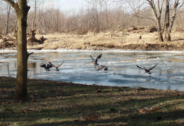 Geese on White River on the coldest day of the year so far, January 22, 2013<br /> <br /> Photographer's Name: Rachel Landers<br /> Photographer's City and State: Anderson, IN