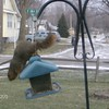 Every morning Bill Martin watches this squirrel and sometimes a buddy steal bird seed from the bird feeder.<br /> <br /> Photographer's Name: Bill Martin<br /> Photographer's City and State: Anderson, IN
