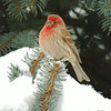 Pretty house finch in the snowy branches<br /> <br /> Photographer's Name: Sharon Markle<br /> Photographer's City and State: Markleville, Ind.