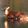 A deer in trouble on a local lake. Thank you to the Richland Township Fire Department for saving her.<br /> <br /> Photographer's Name: Rita Drews<br /> Photographer's City and State: Anderson, Ind.