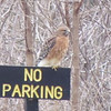 A hawk on parking patrol at Mounds Park.<br /> <br /> Photographer's Name: Brian  Fox<br /> Photographer's City and State: Anderson, Ind.