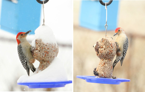 The friendly neighborhood woodpecker was enjoying new bird seed dispenser on January 1 in the sun, and January 2 in the snow..<br /> <br /> Photographer's Name: Larry Gibson<br /> Photographer's City and State: Anderson, Ind.