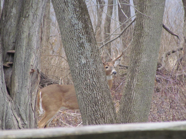 A buck hides behind a tree at Mounds State Park.<br /> <br /> Photographer's Name: Brian Fox<br /> Photographer's City and State: Anderson, Ind.