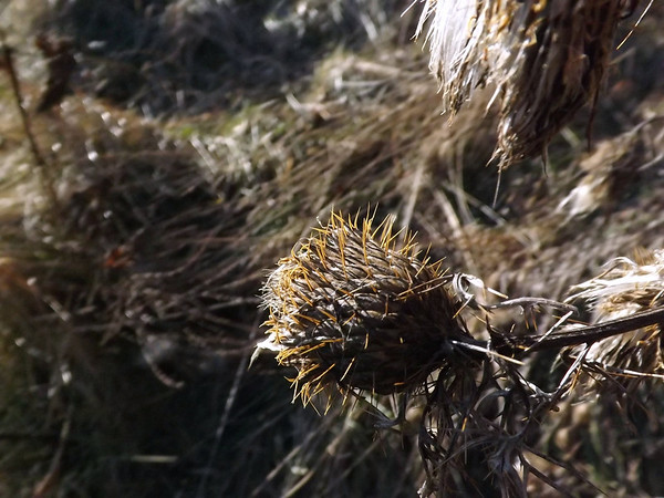 """""""January Beauty"""" up close: a thistle on my farm in Richland Township.<br /> <br /> Photographer's Name: J.R.  Rosencrans<br /> Photographer's City and State: Alexandria, Ind."""