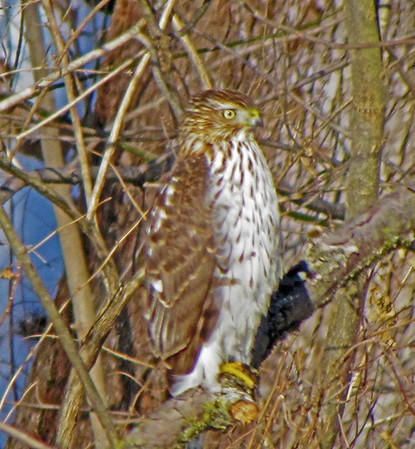 Hawk overlooking Fall Creek at Fall's Park.<br /> <br /> Photographer's Name: Brian Fox<br /> Photographer's City and State: Anderson, Ind.
