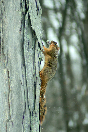 A squirrel running up a tree with a nut.<br /> <br /> Photographer's Name: Morgan Elbert<br /> Photographer's City and State: Alexandria, Ind.