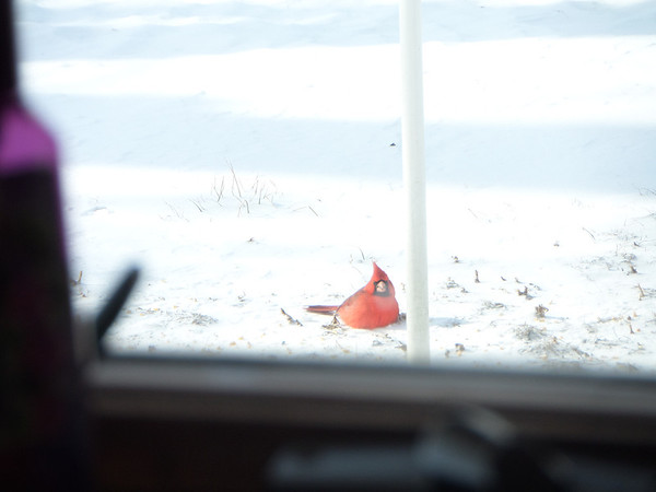 Red bird looking for food under the bird feeder.<br /> <br /> Photographer's Name: Karen McCord<br /> Photographer's City and State: Frankton, Ind.