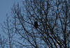 Eagle Hunting 01-30-2015-125