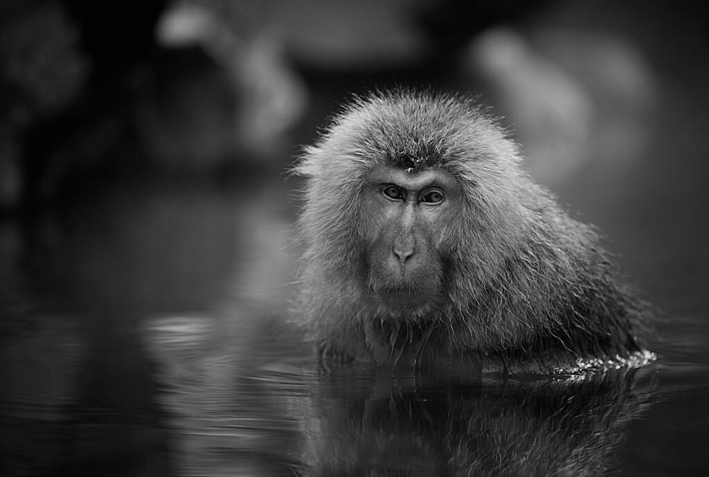 Wet monkey - b&w