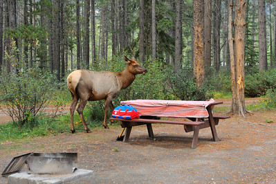 Camping Trip, Jasper AB, Sept. 2009 Whistlers Campground, Elk