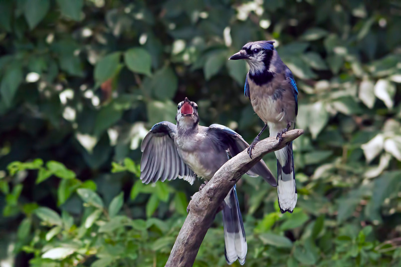 A juvenile jay begging for food.