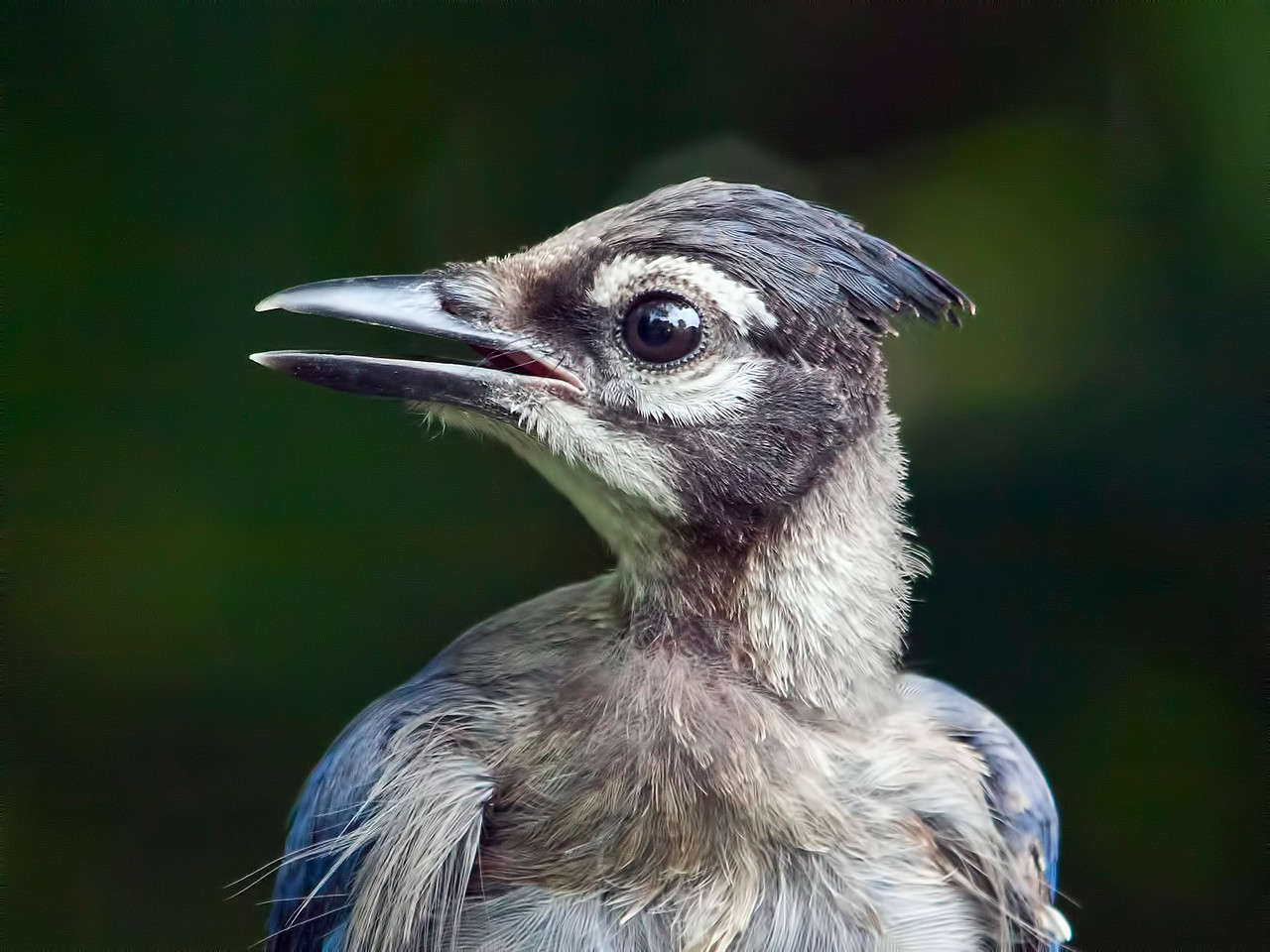 A fledgling blue jay. Not too pretty. Taken in July. It is now January and this fellow has continued to visit my feeders and is quite handsome now. 1.13.13