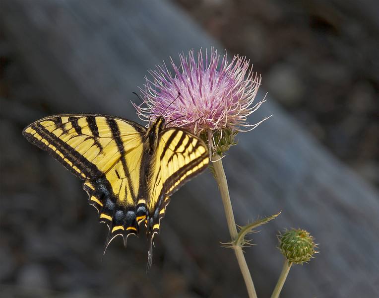 Tiger Swallowtail ©Jim Edmiston