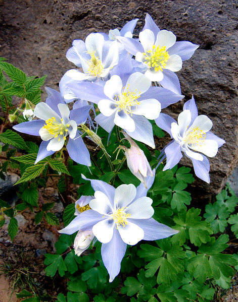 Colorado Columbines ©Marilyn Edmiston